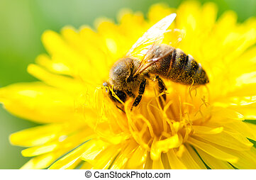 close-up of a Honey bee collecting pollen from a yellow...