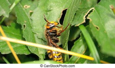 Close-up of a hornet - Close-up of European hornet worker...