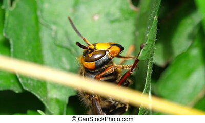 Close-up of a hornet - Close-up of the head of European...