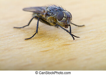 Close up of a  House Fly