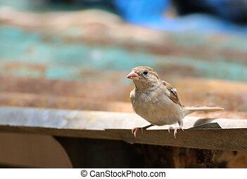House Sparrow - Close up of a House Sparrow