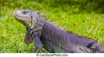 Close up of a Iguana on grass