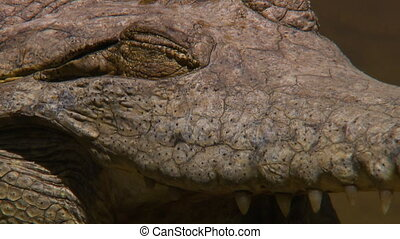 Close up of a Johnston's crocodile's closed eye - An extreme...