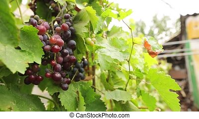 Close-up of a juicy bunch of multi-colored grapes on a branch with green leaves, grape harvest on a blurred background.