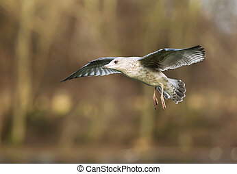 Close-up of a juvenile herring gull in flight