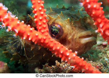 Close-up of a Juvenile Rounded Porcupinefish (Cyclichthys Orbicularis), Lembeh Strait, Indonesia