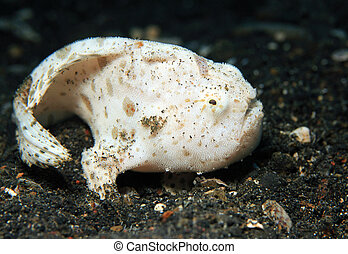 Close-up of a Juvenile Shaggy Frogfish (Antennarius Hispidus) on Black Sand Bottom, Lembeh Strait, Indonesia