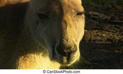 Close up of a kangaroo's face - A kangaroo's face looking at...