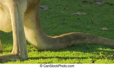 Close up of a kangaroo's thick tail - A kangaroo's thick...