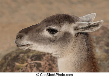 Close-up of a Lama in the spring