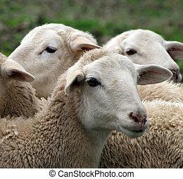 Close up of a lamb, sheep