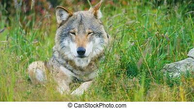 Close-up of a large adult male grey wolf rests in the forest...