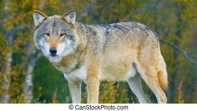 Close-up of a large male grey wolf stands in the forest -...