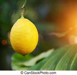 Close-up of a lemon.