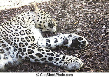 close up of a leopard resting