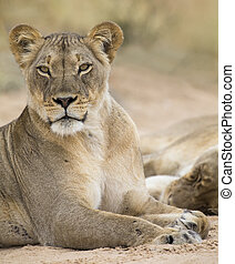 Close-up of a lioness lying down to rest on soft Kalahari sand
