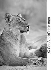 Close-up of a lioness lying down to rest on the soft Kalahari sand in artistic conversion
