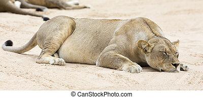 Close-up of a lioness lying down to sleep on soft Kalahari sand