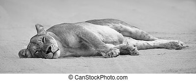Close-up of a lioness lying down to sleep on the soft Kalahari sand artistic conversion