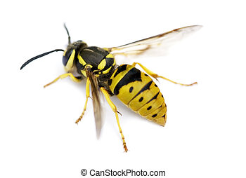 Close-up of a live Yellow Jacket Wasp isolated on a white background.