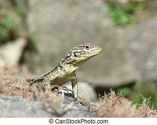 Close up of a lizard resting on a rock in the sun in Machu ...