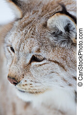 Close up of a lynx in the winter
