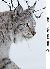 Close up of a Lynx walking in the snow