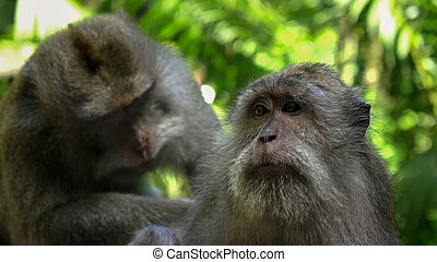 close up of a macaque being deloused at ubud monkey forest, bali