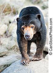 Close up of a Malayan Sun Bear (Helarctos malayanus)