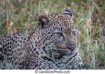Close up of a male Leopard in the grass.
