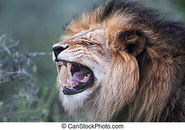 Lion (Panthera leo) - Close up of a male Lion (Panthera leo)...