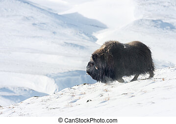 Musk Ox in Dovrefjell mountains in winter - Close up of a...