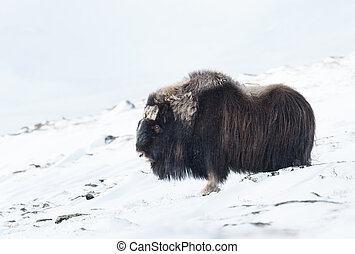 Close up of a male Musk Ox in winter, Norway.
