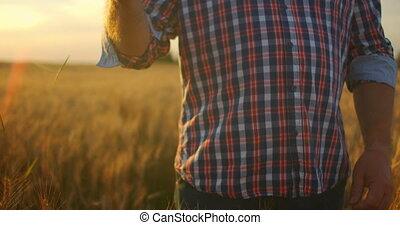 Close-up of a man an elderly farmer touching wheat spikelets...