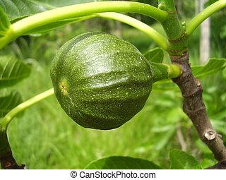 Close up of a maturing fig