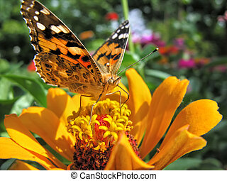 close-up of a Monarch Butterfly