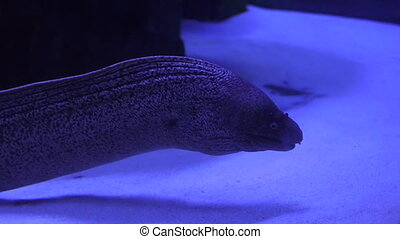 Close-up of a Moray eel swimming underwater in an aquarium in dark water.