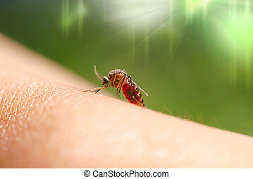 Close-up of a mosquito sucking blood in rainforests.
