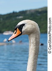 Close up of a mute swan on a lake in Llanberis, Wales