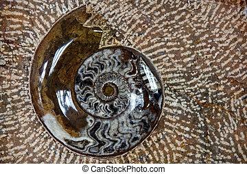 nautilus fossil in stone
