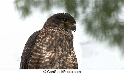 close up of a new zealand falcon