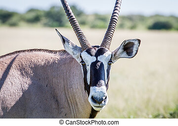 Close up of a Oryx starring at the camera.