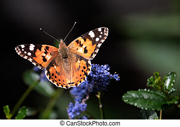 Close-up of a Painted Lady (Vanessa cardui) butterfly