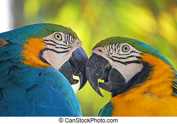 close up of a pair of blue and yellow macaws
