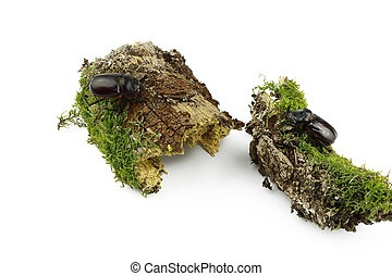Close-up of a pair of rhinoceros beetle on wood overgrown with moss separated on a white background. Female and male of the European rhinoceros beetle (Oryctes nasicornis)