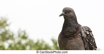 Close-up of a pigeon on a blurred background