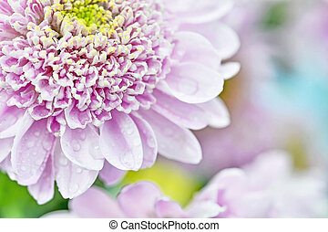 Close-up of a pink chrysanthemum flower. Background
