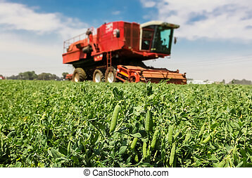 Close up of a pod of peas with a Red Combine Harvester working on a commercial pea farm