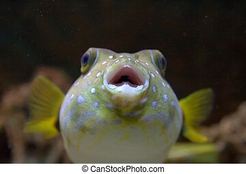Close Up of a Puffer Fish - The White-Spotted puffer, ...