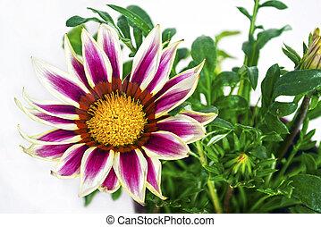 purple gazania flower